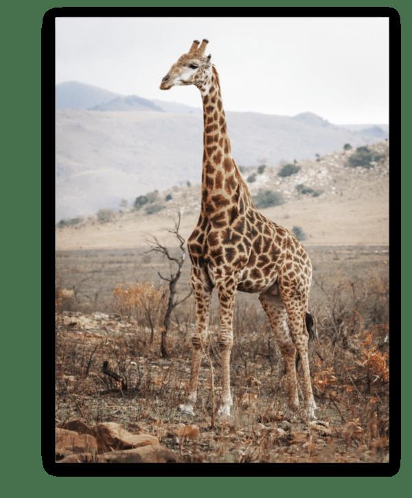 Leinwandbild Giraffe