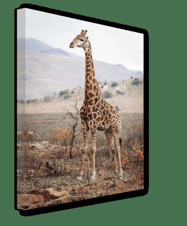 Leinwandbild Giraffe Ansicht schräg