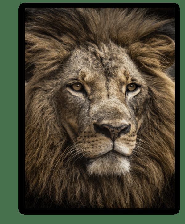 Leinwandbild Majestic Lion