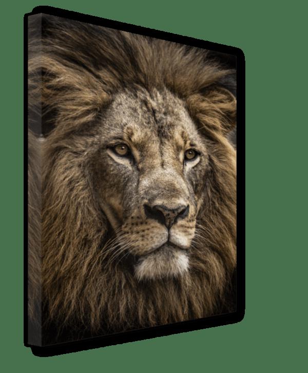Leinwandbild Majestic Lion Ansicht schräg