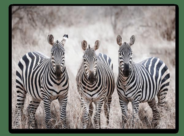 Leinwandbild Zebras