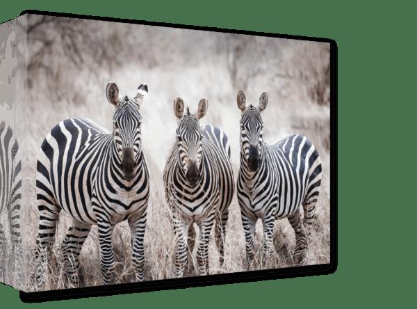 Leinwandbild Zebras Ansicht schräg