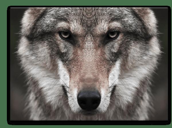 Glasbild Wolf