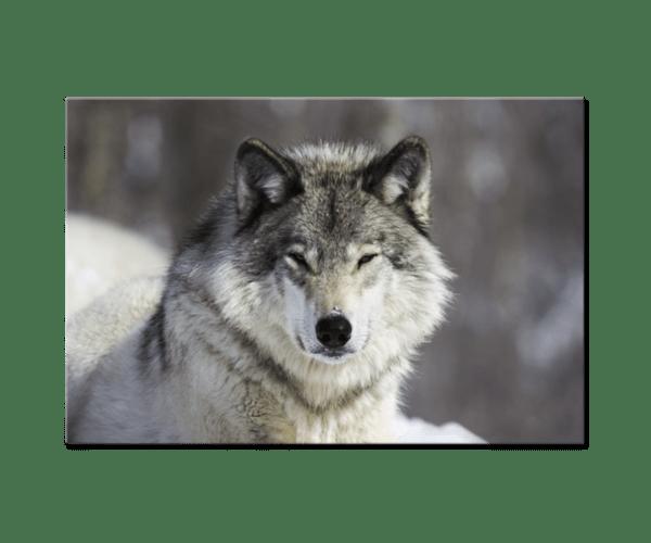 Glasbild Grauer Wolf