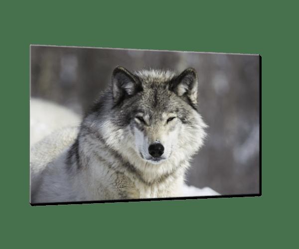 Glasbild Grauer Wolf Ansicht schräg