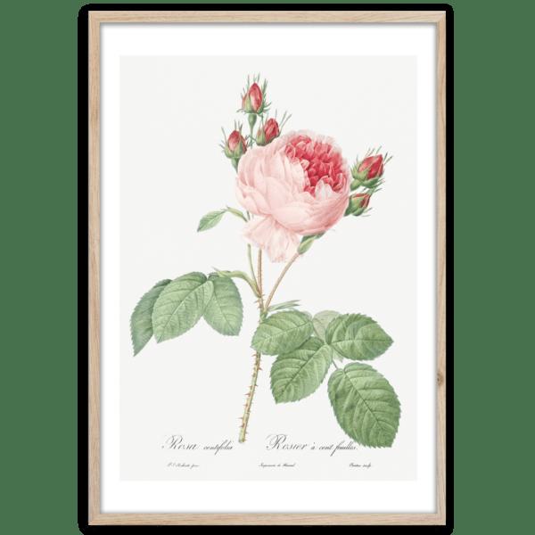Rahmenbild Pink Rose