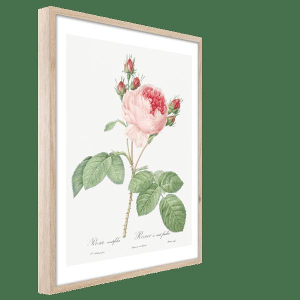 Rahmenbild Pink Rose Ansicht schräg