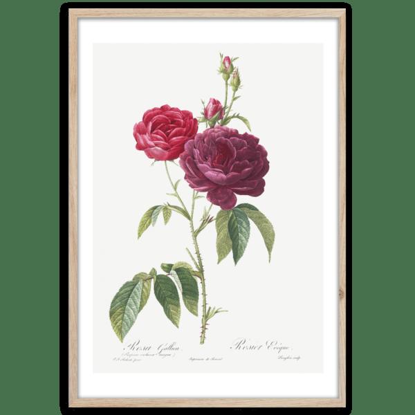 Rahmenbild Red Rose