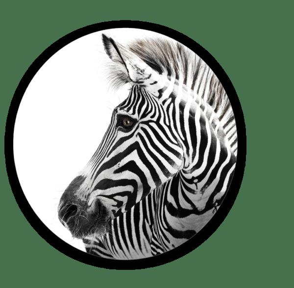 Glasbild Zebra – rund