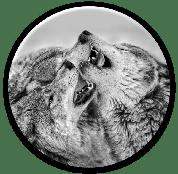 Glasbild Wolves – rund