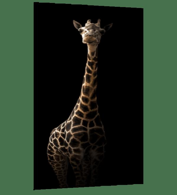 Glasbild Giraffe Ansicht schräg