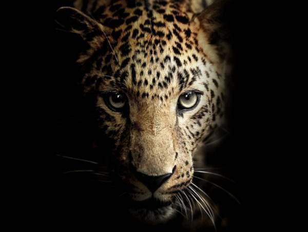 Leinwandbild Leopard