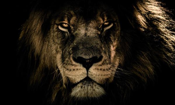 Leinwandbild Löwe