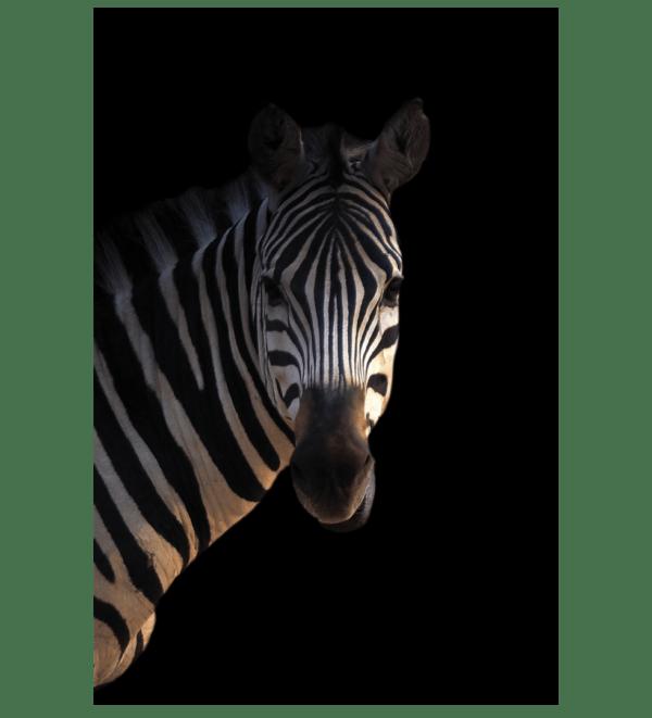 Leinwandbild Zebra